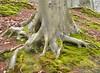 Stevige houvast / Strong hold (wilma HW61) Tags: boom tree boomwortels treeroots racinesdarbres radicideglialberi baumwurzeln natuur nature natur naturaleza nikond90 nederland niederlande netherlands holland holanda paysbas paesibassi paísesbajos europa europe outdoor wilmahw61 wilmawesterhoud mossen grond mosses ground