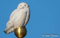 having a ball... (Anne Marie Fraser) Tags: snowyowl snowy owl ball gold nature wildlife