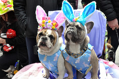 dogs (greenelent) Tags: dogs animals easter easterparade costumes nyc streets 365 photoaday