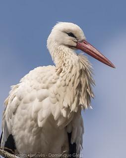 Cigogne blanche - White storck