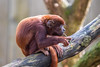 This is a good branch (Photography by Martijn Aalbers) Tags: redhowler rodebrulaap monkey aap mammal ape animal dier nature natuur life leven zoo dierentuin deapenheul apenheul apeldoorn guelders gelderland thenetherlands nederland dutch nederlands zoogdier canoneos77d ef70200mmf4lisusm wwwgevoeligeplatennl