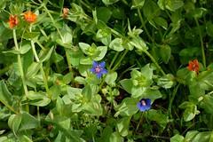 *Anagallis arvensis, SCARLET PIMPERNEL (openspacer) Tags: anagallis blueform jasperridgebiologicalpreserve jrbp myrsinaceae nonnative scarletpimpernel