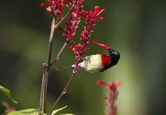 Taiwan (richard.mcmanus.) Tags: taiwan taiwanbirds bird sunbird kimmen mcmanus forktailedsunbird