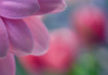 Flower Macro (sabrinasteiger1) Tags: flower blume blüte blüten bokeh tropfen drop macro makro natur nature nahaufnahme deutschland soft colors pastell pastelltöne sony sonyalpha spring frühling