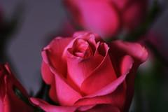 DSC_9081 (PeaTJay) Tags: nikond750 sigma reading lowerearley berkshire macro micro closeups gardens indoors nature flora fauna plants flowers bouquet rose roses rosebuds