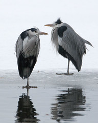 Just waiting (carina.brannstrom_hnc) Tags: grey heron bird