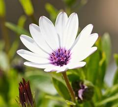 Días de primavera. (garciacarolina28) Tags: flores flowers floresdecolor flower margarita primavera sprint