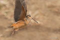 Woodcock in flight (Earl Reinink) Tags: americanwoodcock earlreinink bird ezidtahdza