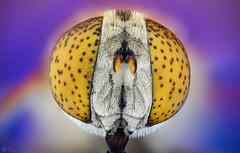 Drone Fly (Can Tunçer) Tags: can cantunçer cantuncer canon canon6d tunçer turkey turkiye türkiye tuncer tabletop stack stacking studio macro makro macros macrophotography micro mikro makros microscope microscop mitutoyo mitu5x izmir ikea jansö jansjö dronefly drone fly