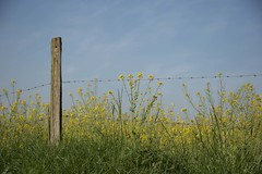 Un avant-goût d'été **--- ---° (Titole) Tags: rape colza fence yellow blue bluesky post barbedwire barbelé titole nicolefaton thechallengefactory challengeyouwinner cywinner gamewinner