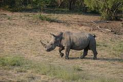 Southern White Rhinoceros (jdf_92) Tags: southafrica safari rhinoceros ceratotheriumsimumsimum ceratotheriumsimum southernwhiterhinoceros bigfive limpopo limpopoprovince africa mammal