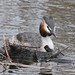 A case for DIY SOS (Grumpys Gallery) Tags: greatcrestedgrebe birds wildlife nature