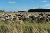 Schafherde (gerhardschorsch) Tags: schafherde sony zeiss za ilce7r available a7r 55mm fe55mmf18za flock sheep herde schafe