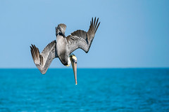 Diving - Brown Pelican (Bernie Duhamel) Tags: naples florida sonyfe100400mm sonya9 brownpelican flight fishing shorebird greatphotographers teamsony bernie duhamel wildlife bird sea ocean gulfofmexico