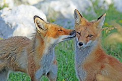 Equinox Fox (marylee.agnew) Tags: vulpes fox red canine mother cure love help nature wildlife kit young spring