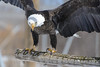 _D6X1634 (pxr57) Tags: sainteannedebellevue québec canada ca eco zoo bald eagle nikon d600