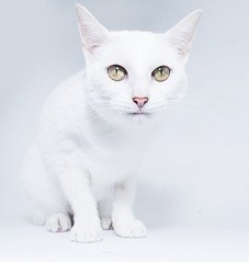 Cosmo (RedPlanetClaire) Tags: high key cat white pet cats astra cosmo