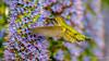 Anna's Hummingbird (Bob Gunderson) Tags: annashummingbird birds california calypteanna dolorespark hummingbirds northerncalifornia sanfrancisco