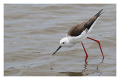 2018 02 01_Black-winged Stilt-2 (Jonnersace) Tags: blackwingedstilt southafrica wildwingssafaris water wader white black red feeding catch sunsetdam lowersabie canon100400ii canon7dii canon nature eos rooipootelsie himantopushimantopus wild insect beak bill droplets