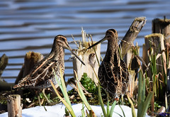 Snipe. (spw6156 - Over 6,560,030 Views) Tags: snipe copyright steve waterhouse