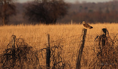 On the Fence (CrowInFlight) Tags: owl shortearedowl dusk bird fencepost nature outdoors raptor birdofprey hunter