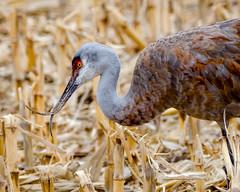 Sandhill crane (corkemup52) Tags: birds crane nebraska nature nikond7000 sandhillcranes outdoors wildlife