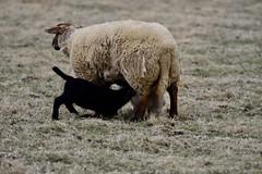 Colors (polletjes) Tags: sheep lambs schapen lammetjes lente voorjaar spring printemps jong young colors kleuren drie three trois natuur nature animals dieren animaux nederland netherlands