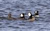 March Mergansers (Barbara A. White) Tags: birds ottawariver hoodedmerganser