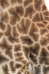 Masai Giraffe (robsall) Tags: 2016 500mm 7dmark2 7dmarkii 7dm2 7dmii africa africatourism africawildlifephotography africanwildlife canon canon500mmf4lisiiusm canon500mmf4 canon500mmf4lii canon500mmf4ii canon7dmark2 canon7dmarkii canon7d2 canon7dm2 canoneos canoneos7dmark2 canoneos7dm2 family giraffacamelopardalistippelskirchi giraffe giraffes kilimanjarogiraffe mammal masaigiraffe masaigiraffes robsallaeiral robsalldrone robsalldronephotography robsallphotography robsallwildlifephotography tanzania tanzania2016 textures vacation mararegion tz