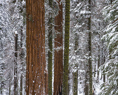Red, Green, and White (Kurt Lawson) Tags: blue california evergreen forest fresh giant lodgepole massive national nevada park pine red redwood sequoia sierra sky snow tree winter