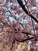 世界平和記念聖堂 sakura 広島市中区幟町 2018年3月25日 (hiroshimaphotography) Tags: ساكورا cherryblossom sakura cerezo ساکورا 벚꽃 pokokbungasakura сакура 樱花 sakuro bloesem cerejeira սակուրա fiorediciliegio japanischekirschblüte საკურა ചെറിബ്ലോസം ချယ်ရီပန်း ซากุระ seresangnamumulaklak hoaanhđào
