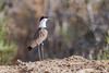 Spur-winged Plover_w_2493 (Daly Wildlife) Tags: paralimni ammochostos cyprus cy