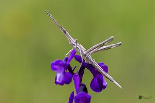 Saltamontes palo o narigudo (Acrida ungarica)