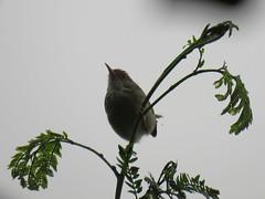 Orthotomus sutorius (dhobern) Tags: 2018 china march xtbg xishuangbanna yunnan aves passeriformes cisticolidae orthotomussutorius