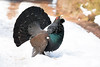 Capercaillie :  Winter 2018 (Chas Moonie-Wild Photography) Tags: capercaillie wild scotland woods bird grouse large male cock pine forest caledonian ngc