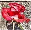 Cores da natureza. #flores #flowers #borboletas #naturalbeauty #natureza #naturephotography #jardim #floreslindas #revistaxapury #eunotg #criacaodedeus #obradivina #instaflowers #instaflores #motox2 #instamotox2 #garden #floricultura #intagram #instalike (ederrabello2014) Tags: floricultura instamotox2 motox2 borboletas momentosregistrados naturephotography instalike brwildanimals3anos flowersofinstagram naturalbeauty eunotg natureza rosavermelha obradivina butterflyshow jardim instaflores flowers floreslindas flores revistaxapury flowerstagram flowersbouquet intagram criacaodedeus brwildanimals flowerslovers instaflowers intagrambrasil garden
