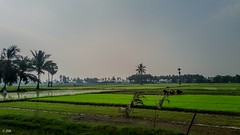 Green paddy fields during evening time ! (clicks_explored) Tags: green paddy fields samsung j5 tamilnadu photography incredibleindia india southindia rural palmtrees