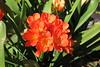 Clivia miniata (esta_ahi) Tags: barcelona clivia miniata cliviaminiata amaryllidaceae flor flora flores cultivadas escolaindustrial canbatlló barcelonès spain españa испания