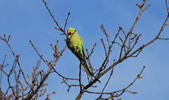IMG_3649i (Jeff And) Tags: parakeet greenparakeet kentonrecreationground kenton greenhill harrow birds