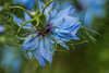 something blue (lauraknowles4) Tags: flower petals plant macro blue canon tamron 70300 lens