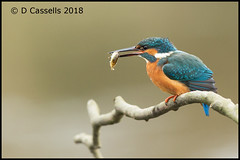 Kingfisher with Fish (David E Cassells) Tags: