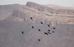 Glossy Ibises in flight (Wild Chroma) Tags: plegadis falcinellus plegadisfalcinellus ibis birds nonpasserines jordan aqaba bird observatory aqababirdobservatory