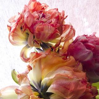 les tulipes de Marijke