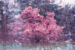 Winterbloom (Hayden_Williams) Tags: pink plumblossom bloom blooming snow snowing winter spring doubleexposure multipleexposure
