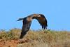 Low Pass - HWW (DaveSPN) Tags: wingwednesday kite blackkite werribeeriver melbourneaustralia victoria canon canon7dll tamron tamronsp150600mm australianbirds