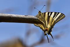 Podalirio (luporosso) Tags: natura nature naturaleza naturalmente nikon nikond500 farfalla farfalle butterfly mariposa borboleta podalirio insect insetto