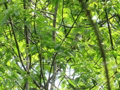 Yellow-billed Cuckoo (D. S. Hałas) Tags: halas hałas canada ontario haltonregion haltoncounty oakville sixteenmilecreek chordata sarcopterygii aves cuculiformes cuculidae coccyzusamericanus yellowbilledcuckoo cuckoo bird