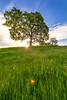 Auburn Oak Tree Sunstar and Lone Poppy (optimalfocusphotography) Tags: northerncalifornia california usa landscape wildflowers nature sunburst sun sky poppies spring oaktree oak clouds