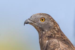 Wespenbussard (Pernis apivorus)