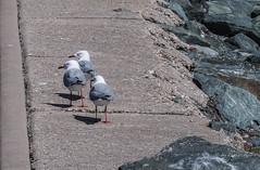 """""""The Three Amigulls"""" (idunbarreid) Tags: seagulls"""